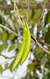 Long, green seed pods of Trumpet Vine hanging down. In fall stock photo