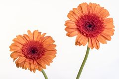 Stemmed orange Gerbera daisy flowers isolated on white Royalty Free Stock Photo