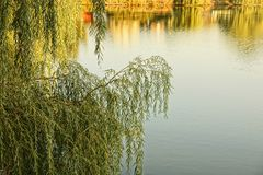 Branches of deciduous tree over the water of the lake stock images