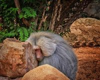 Hamadryas Baboon. Long grey haired Hamadryas Baboon sacred to Egyptians and from the monkey stock photography