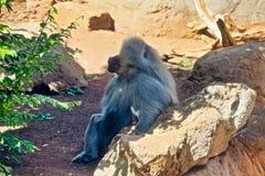Hamadryas Baboon. Long grey haired Hamadryas Baboon sacred to Egyptians and from the monkey stock photo