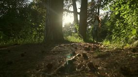 Long hair brunette girl walking towards camera in sunset coniferous forest. Static slow motion wide shot stock footage