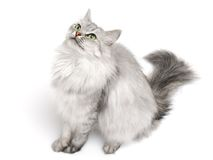 Long-hair cat Royalty Free Stock Image
