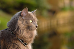 Long hair cat. Detail of the animal head of a grey long hair cat Stock Photo