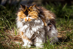 Long Hair Cat. In Beijing Royalty Free Stock Photography