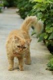 Long hair cat Royalty Free Stock Photography