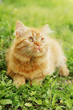 Long hair cat Royalty Free Stock Photography