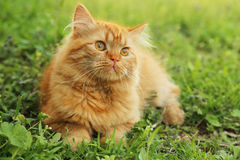 Long hair cat Royalty Free Stock Images