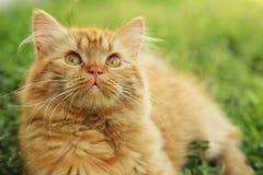 Long hair cat Royalty Free Stock Photo