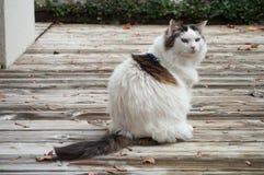Long hair cat on teak floor Royalty Free Stock Photo