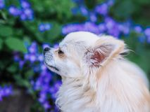 Long hair chihuahua dog sitting in the garden. And looking for something royalty free stock photo