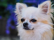 Long hair chihuahua dog sitting in the garden. And looking for something royalty free stock photography
