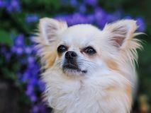 Long hair chihuahua dog sitting in the garden. And looking for something royalty free stock images