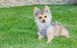 Long hair chihuahua on grass Stock Photography