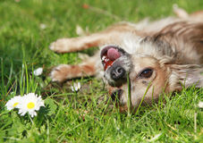 Long Hair Chihuahua playing in the garden. Cute long-haired brown chihuahua lying in the gras chewing a strawberry Royalty Free Stock Photography