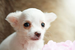 Long hair chihuahua Royalty Free Stock Photography