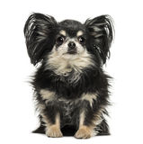 Long hair Chihuahua sitting, looking at the camera Stock Photography