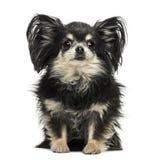 Long hair Chihuahua sitting, looking at the camera stock photography