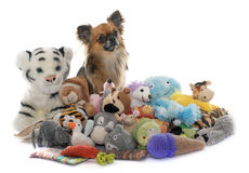 Long hair chihuahua and toys Stock Photos