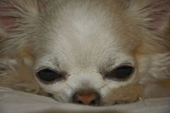 Long-hair dichte omhooggaand van Chihuahua Stock Fotografie