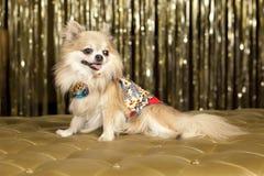 Long hair dog. Long hail Chiuaua dog on gold seat Stock Photo