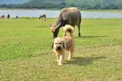 Long hair dog with buffalo herd in green grass field. Beside the lake royalty free stock image
