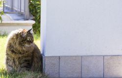 Long hair domestic cat sitting outside, brown female siberian Royalty Free Stock Photography