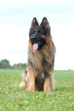 Long hair german shepherd dog Stock Photos