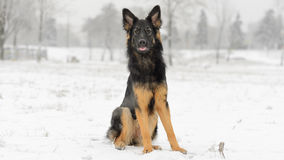 Long hair german shepherd winter frosty snowy stock photo