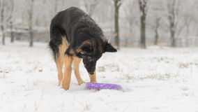 Long hair german shepherd winter frosty snowy playing toy royalty free stock photo