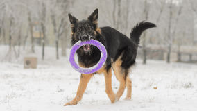 Long hair german shepherd winter frosty snowy playing toy Royalty Free Stock Images