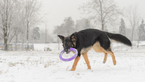 Long hair german shepherd winter frosty snowy playing toy stock photos