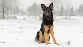 Long hair german shepherd winter frosty snowy playing toy stock photography