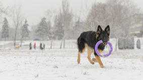 Long hair german shepherd winter frosty snowy playing toy. Dog plays with it`s toy Royalty Free Stock Image