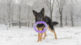 Long hair german shepherd winter frosty snowy playing toy Stock Image