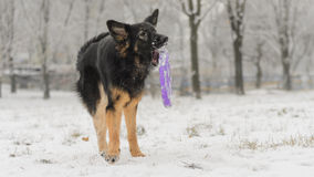 Long hair german shepherd winter frosty snowy playing toy. Dog plays with it`s toy Stock Image