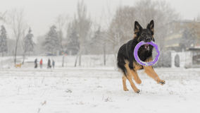 Long hair german shepherd winter frosty snowy playing toy. Dog plays with it`s toy Royalty Free Stock Photography