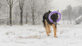Long hair german shepherd winter frosty snowy playing toy. Dog plays with it`s toy Royalty Free Stock Images