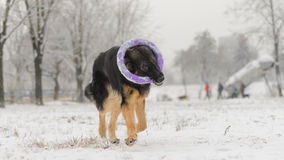 Long hair german shepherd winter frosty snowy playing toy. Dog plays with it`s toy Stock Photography