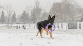 Long hair german shepherd winter frosty snowy playing toy. Dog plays with it`s toy Stock Images