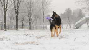 Long hair german shepherd winter frosty snowy playing toy stock image