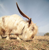 Long hair goat. On field with blue sky Royalty Free Stock Images