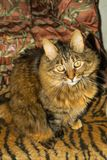 Long hair gray tabby cat looking up very calm. At home Royalty Free Stock Photography
