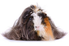 Long hair guinea pig Stock Photo