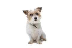 Long hair jack russel. Isolated on white Royalty Free Stock Images