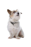 Long hair jack russel Stock Image