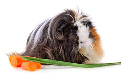 Long hair juinea pig Royalty Free Stock Images