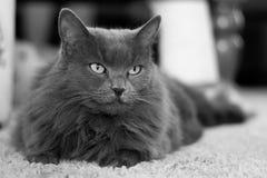 Long hair Nebelung gray cat Royalty Free Stock Photo