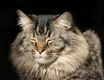 Long Hair Persian Cat Sleeping in the Sunshine Royalty Free Stock Photo