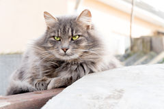Long hair striped cat Stock Image